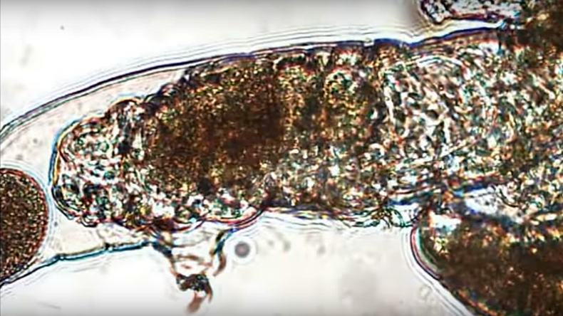 Size isn't everything: Tiny animals sex tape shows tardigrade couple's mating marathon (VIDEO)
