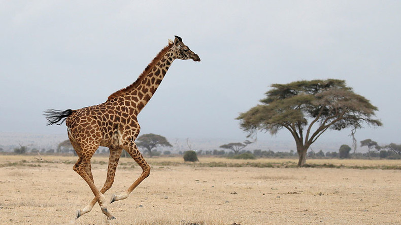 Giraffe population plummets by a third, experts fear for species' survival