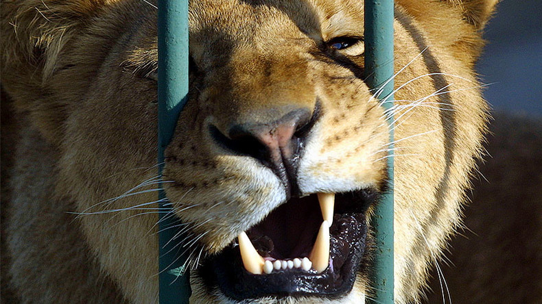 Lioness mauls drunken Russian zoo employee who wanted to pet her