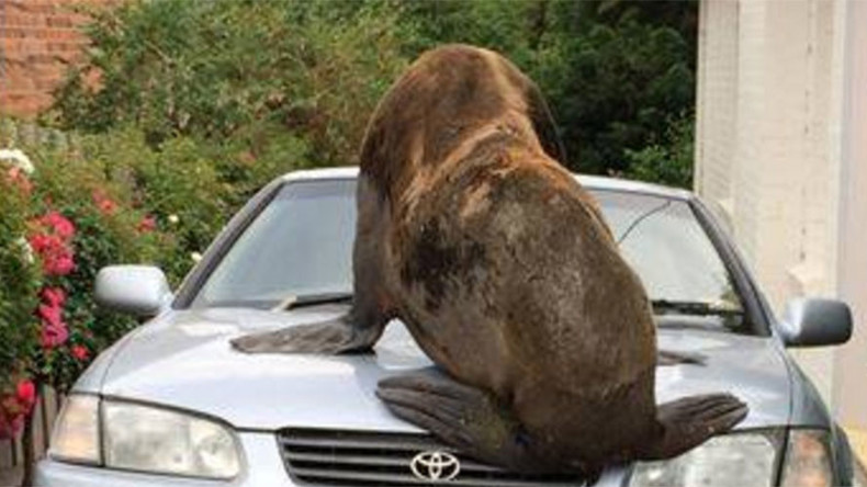 Seal on the loose: Tasmanian police search for runaway animal (PHOTOS)