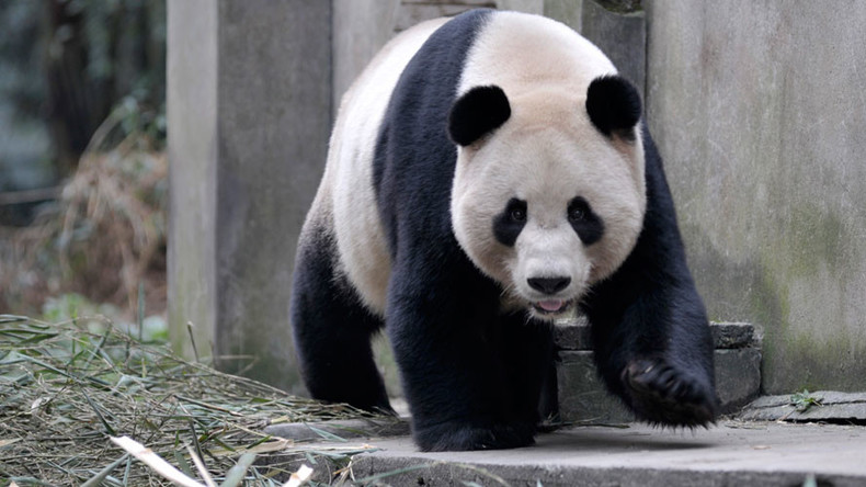 Not so cuddly: Giant panda mom severely mauls nature reserve worker in China