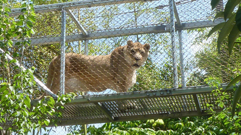 '2016 strikes again': Philly zoo euthanizes 25yo lioness for being too old & inactive