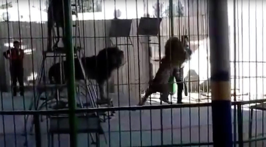 Lion's horrifying attack on circus worker filmed during live show (GRAPHIC VIDEO)