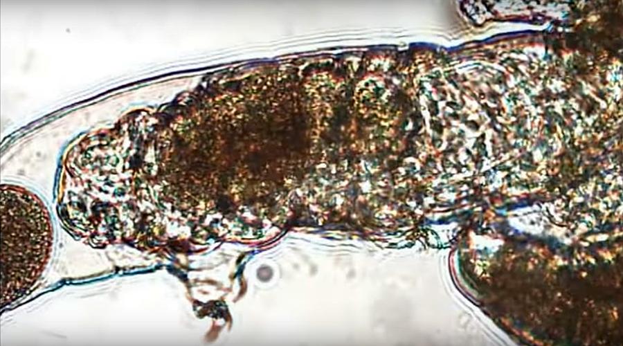 Size isn't everything: Tiny animals sex tape shows tardigrade couple's mating marathon (VIDEO)