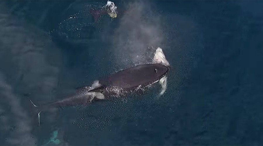 Watch rare killer whales eat a shark in epic drone footage (VIDEO)