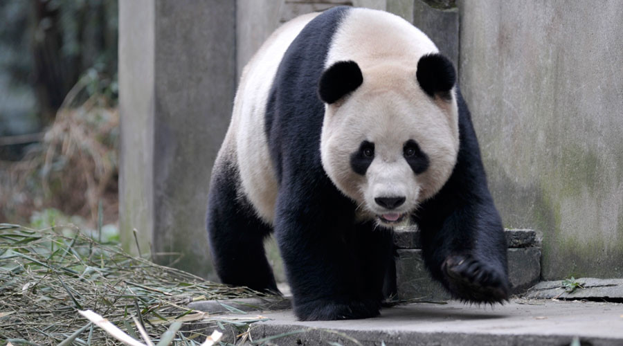 Revo-loo-tionary tissue: Panda poop turned into luxury paper in China