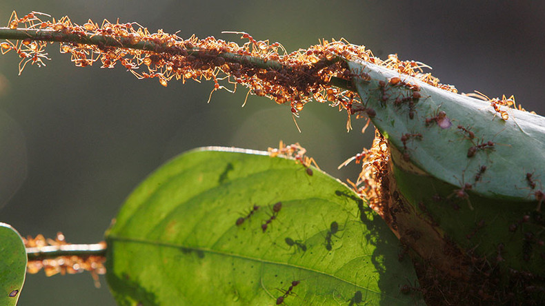 Woman dies after being tied to poisonous ant's nest in apparent case of mistaken identity