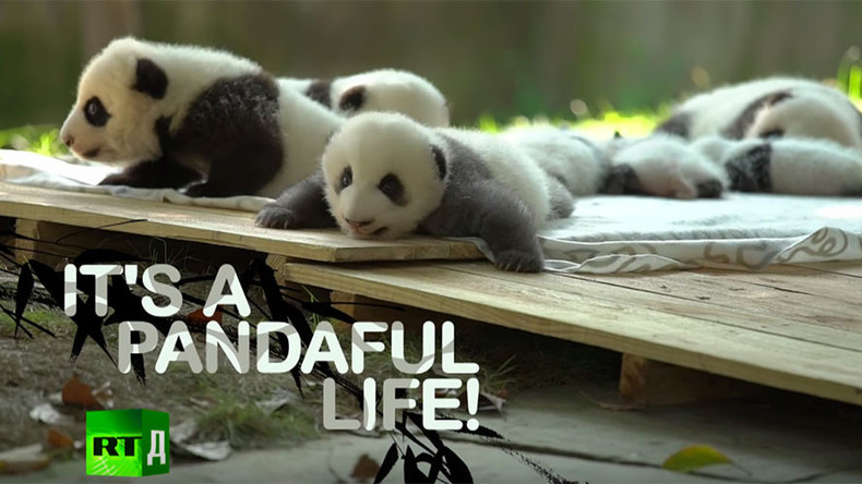 Sex ed classes, romantic dates set for pandas in China to prevent extinction (DOCUMENTARY)