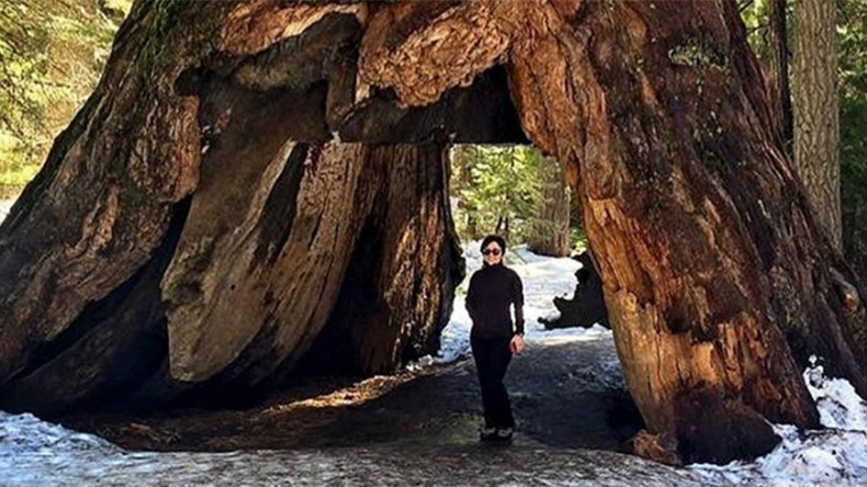 Iconic 1,000yo California tree falls victim to winter storm (PHOTOS)