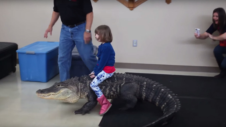 Gator rodeo: Girl allowed to ride 8ft alligator's back as mother films (VIDEO)