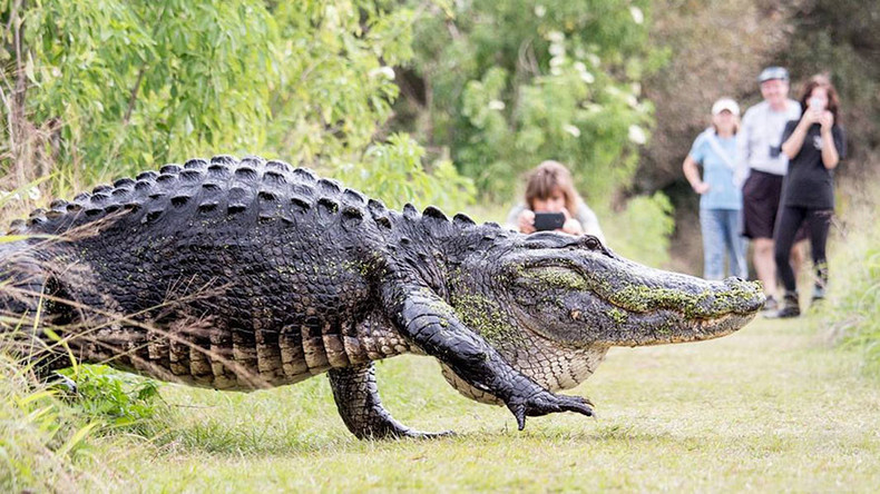 Monster alligator stuns onlookers during casual stroll in Florida (VIDEO)