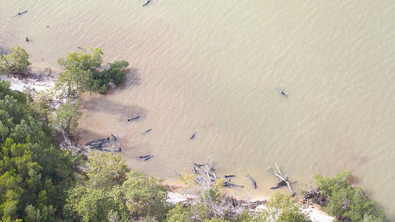 82 false killer whales dead and further 13 stranded off Florida coast (PHOTOS)