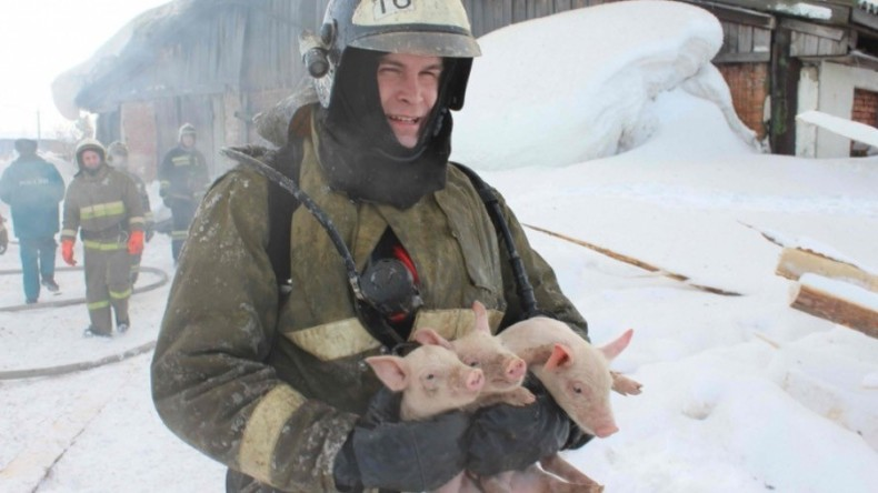 Off the menu: Russian firefighters save 150 pigs & piglets from barn fire (VIDEO, PHOTOS)