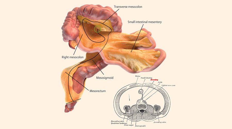 New human organ discovered, purpose of 'mesentery' unknown