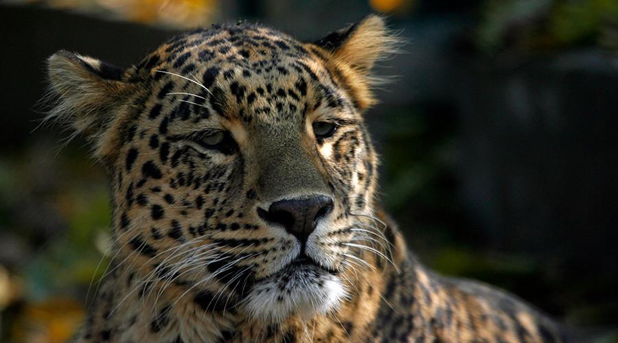 Wild leopard wreaks havoc in Indian town, one man injured