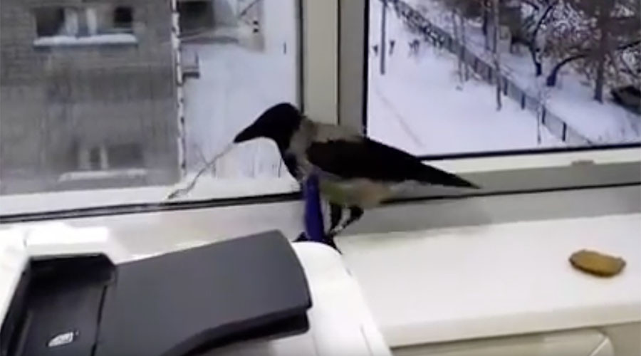 What crow wants, crow gets: Bird outsmarts office workers (VIDEO)