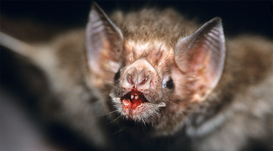 Vampire bats developing taste for human blood – study