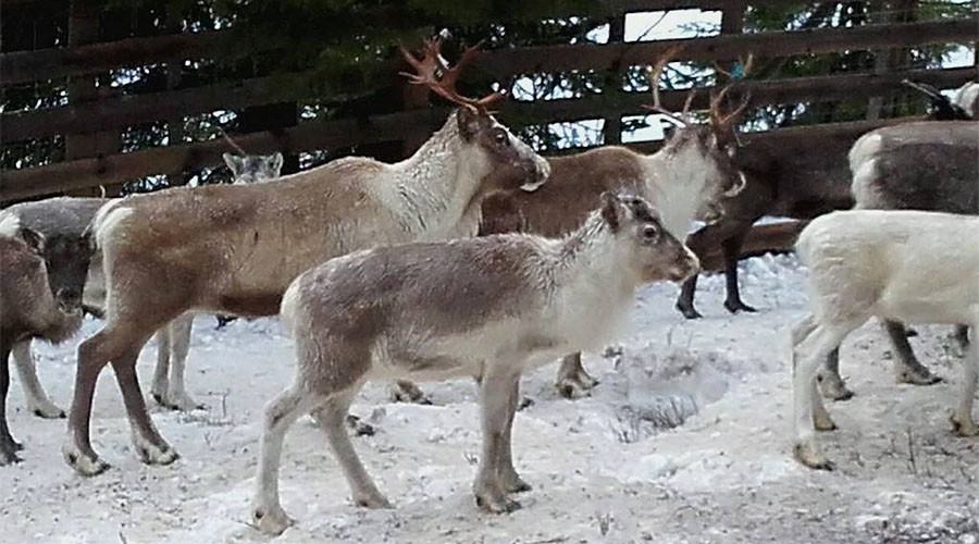Norwegian preschoolers taken to watch reindeer being slaughtered, skinned (GRAPHIC PHOTOS)