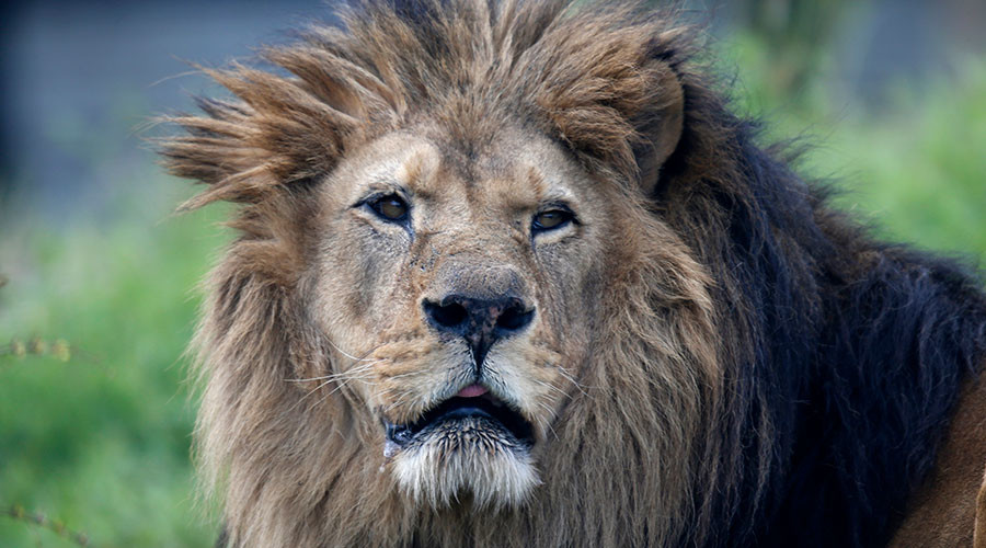 3 lions maul 2 men to death in ferocious attack in Jordan