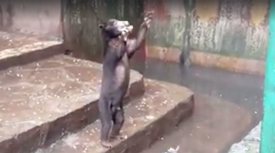Starving bears beg for food at Indonesian zoo in heartbreaking footage (VIDEO)