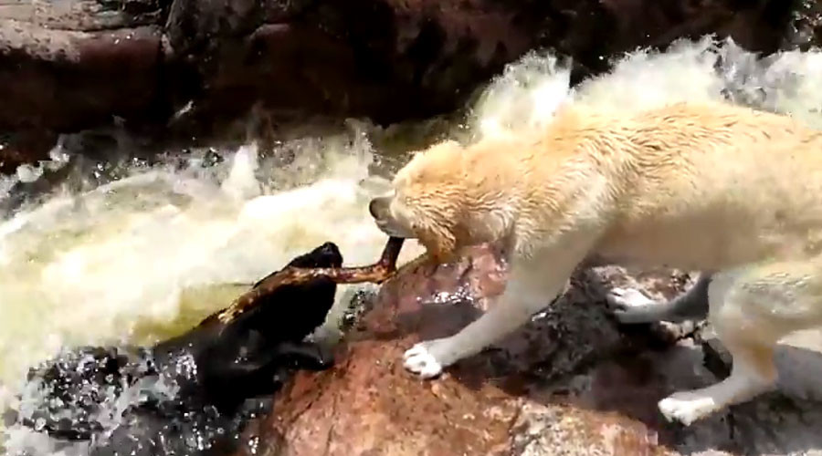 Stick together: Dog rescues fellow canine from choppy waters (VIDEO)