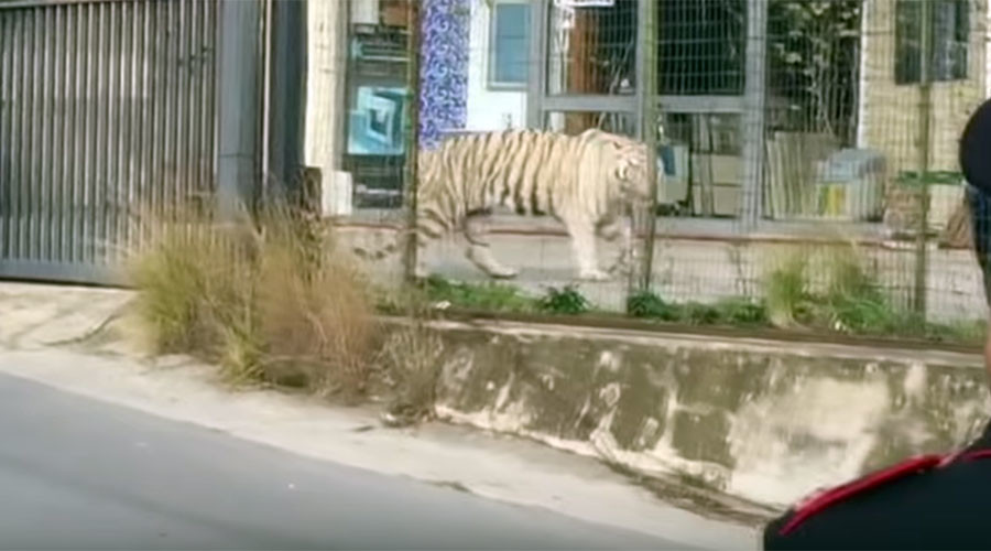 Big cat on the loose: Tiger terrifies Sicilian city in bizarre circus escape (VIDEO)