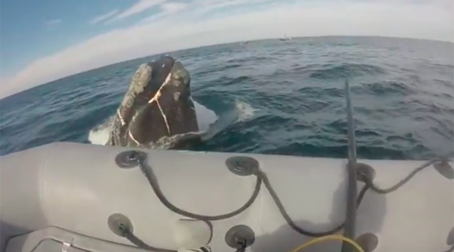 Rescuers save desperate whale trapped in massive fishing net (VIDEO)