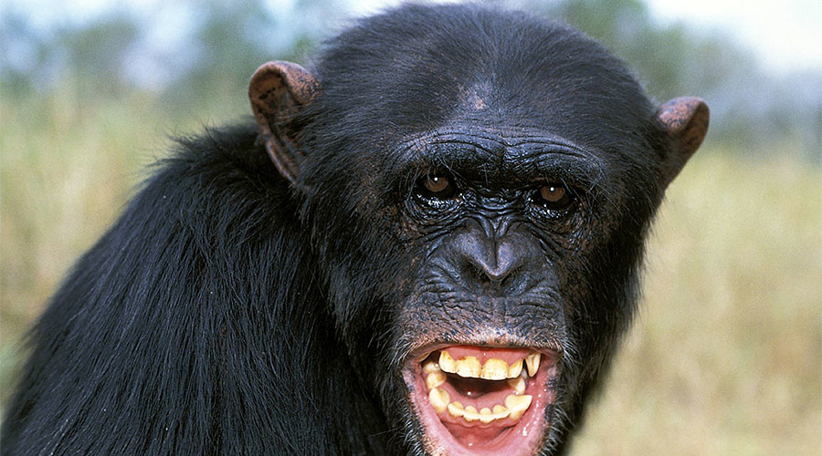 Chimps brutally kill, cannibalize former alpha male (GRAPHIC PHOTO)