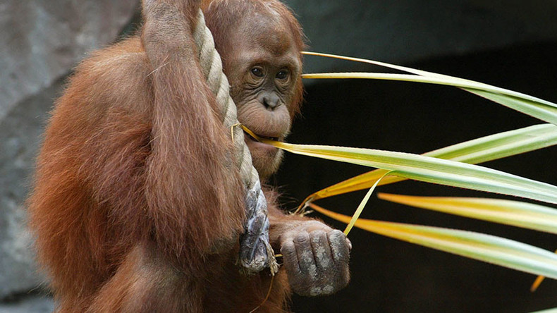 Online mating: Orangutan to use 'Tinder' at Dutch zoo