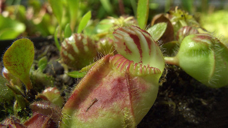 Flesh-eating plants thousands of miles apart turned carnivorous in similar ways – study