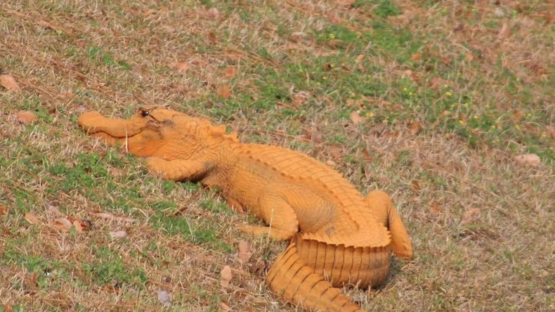 'Trumpagator': Mysterious orange alligator gets snapped in South Carolina