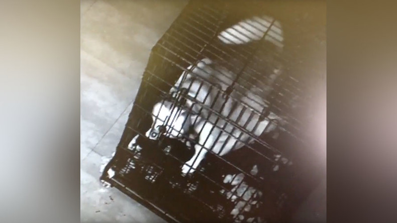 Cage fighter: Heroic husky leads dramatic escape bid from Chinese vet (VIDEO)