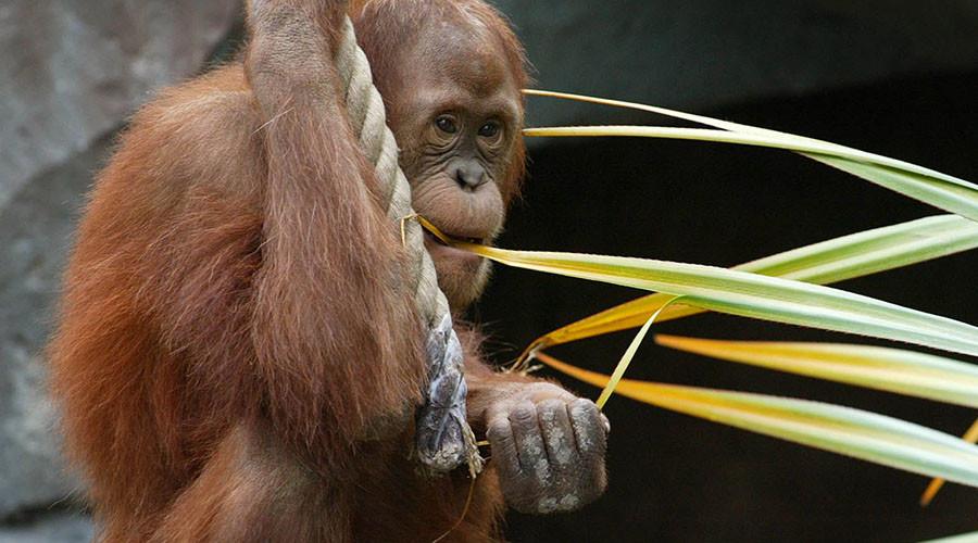 Online mating: Orangutan to use 'Tinder' at Dutch zoo