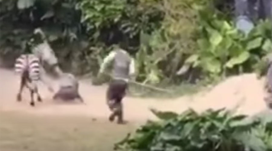 Watch angry Zebra's vicious attack on zoo worker in heart stopping video