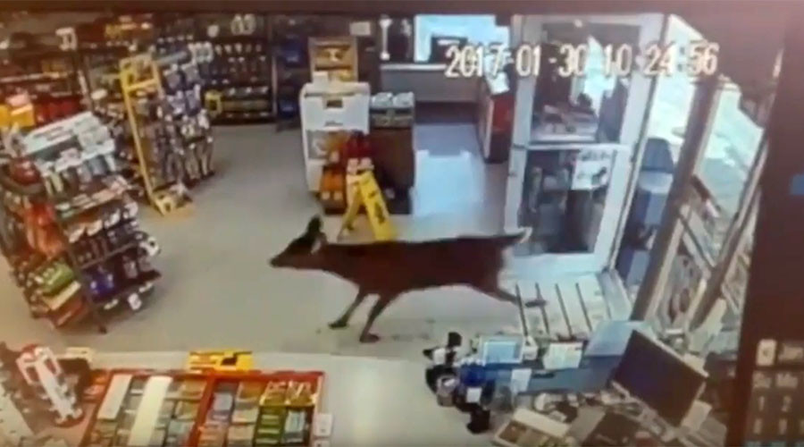 Rampaging deer trash Canadian gas station (VIDEO)