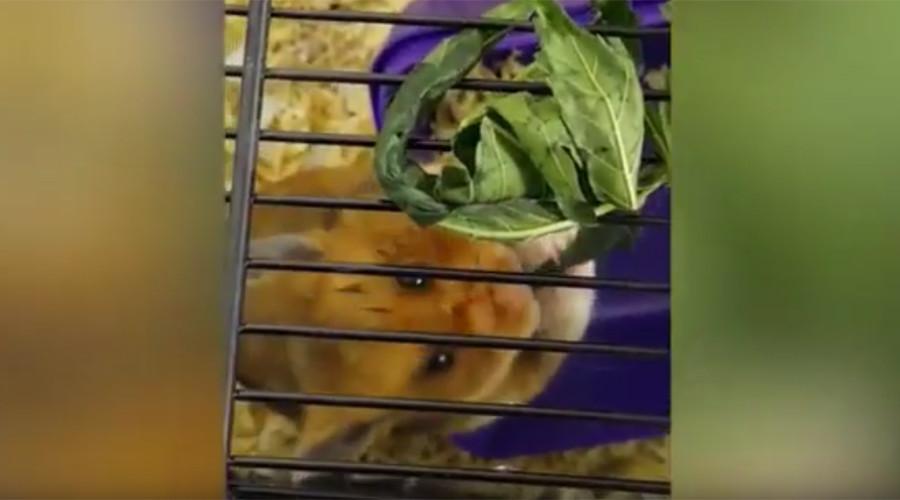 Thug jailed after feeding pet hamster LSD & cannabis (VIDEO)