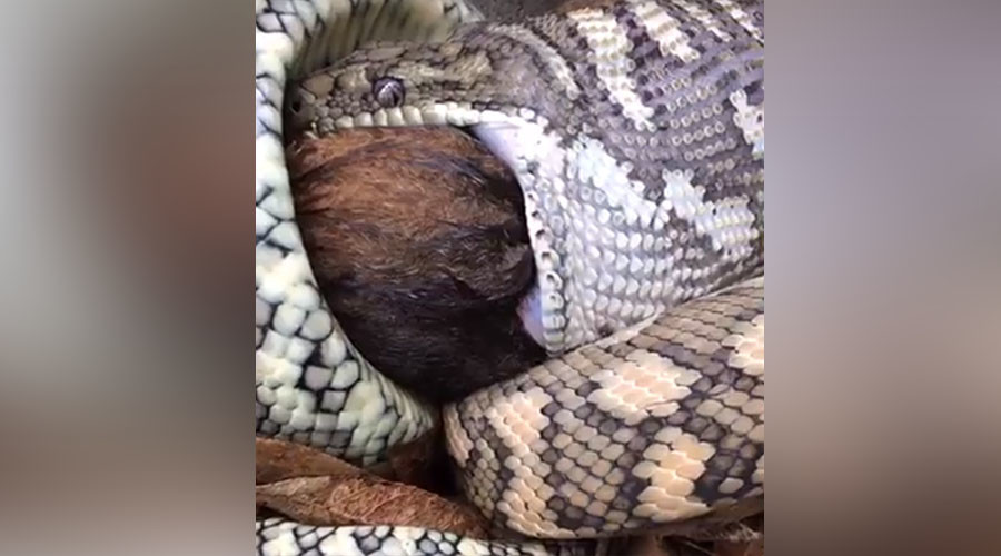 Live feed: Aussie snake catchers stream python eating possum on FB