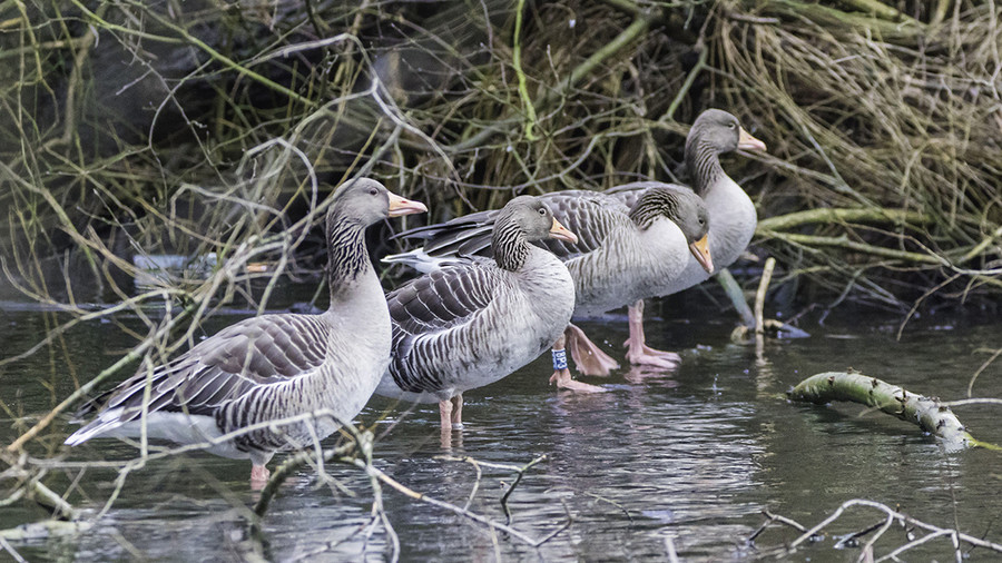 'Leave the geese alone': Paramilitaries offer migrating geese 'protection' in Belfast (PHOTOS)