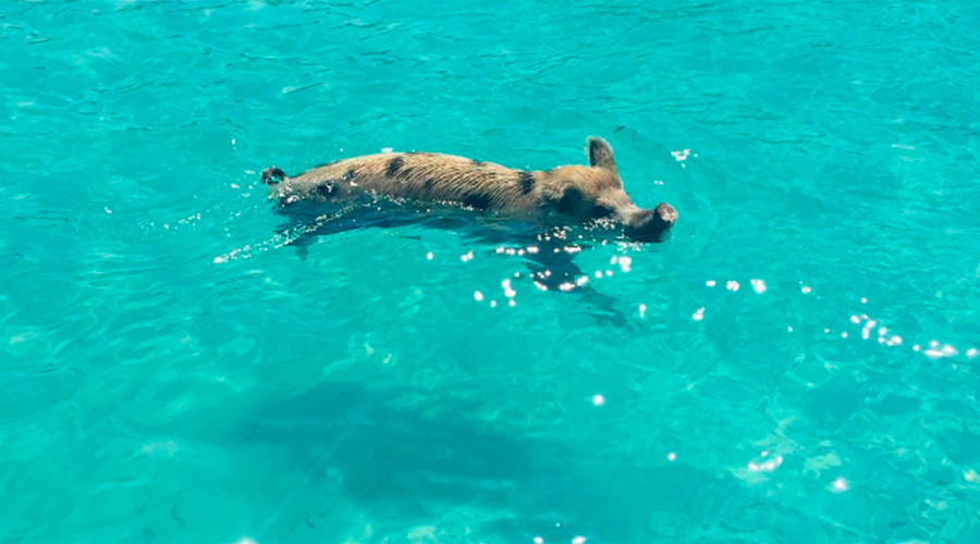 The great swine-dle: What's killing Bahamas famous swimming pigs?
