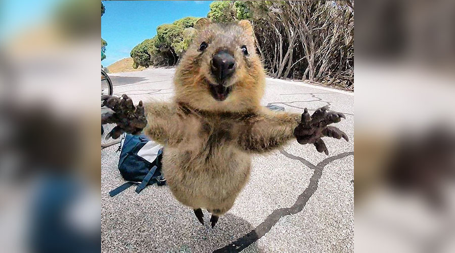 Staggering photo of quokka jumping straight at camera wows internet