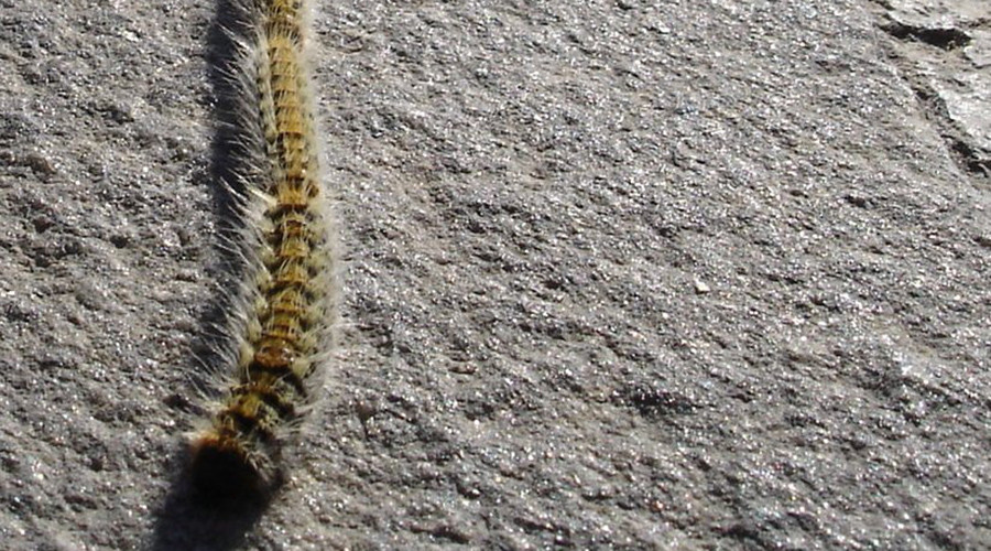 Invasion of the toxic caterpillar: Spain faces 'major risk' from furry insects