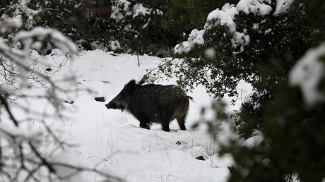 Radioactive boars found in Czech forests 31yrs after Chernobyl disaster