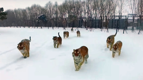 Having a ball! Moscow tiger getting ready for FIFA World Cup (VIDEO)
