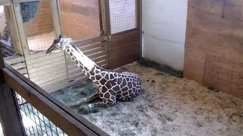 100k viewers tune in to giraffe birth livestream at NY zoo (VIDEO)