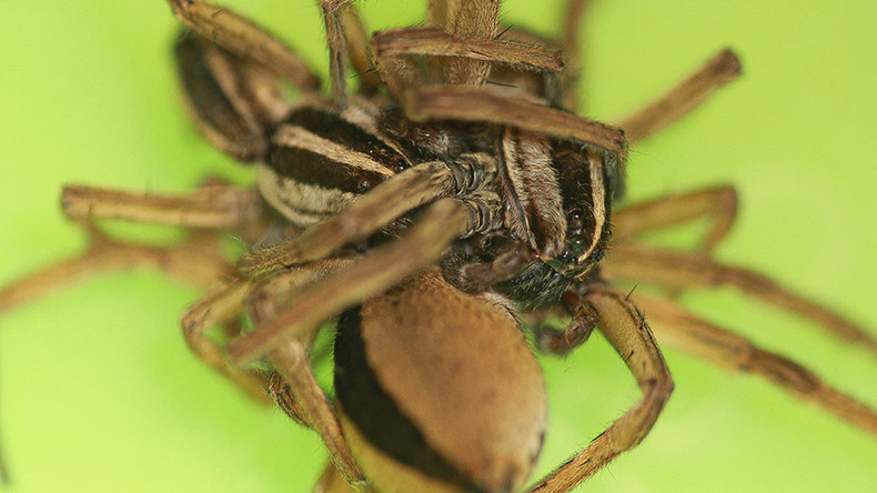 Male spiders engage in threesomes to avoid being eaten by female (PHOTOS)