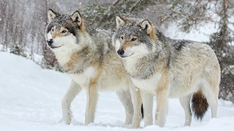 #SaveOurWolves: Norway's move to allow recreational killing of wolves outrages activists