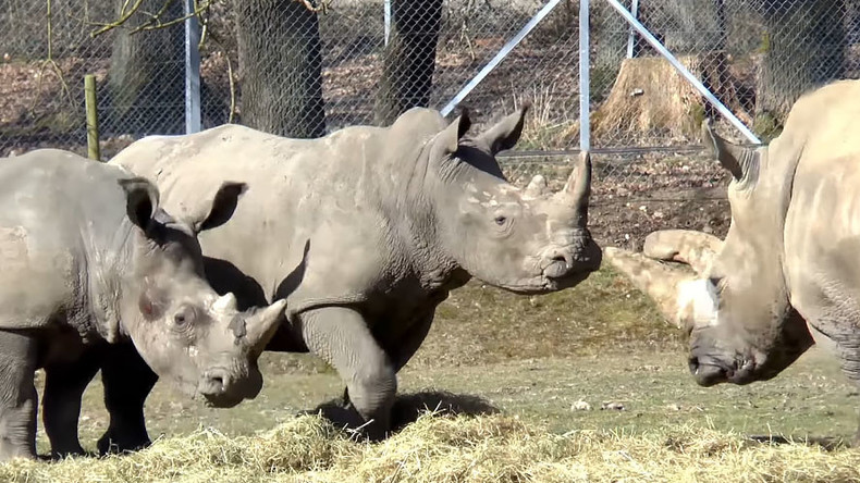 French zoo killing: Poachers shoot 4yo rhino, cut horn with chainsaw in brazen attack outside Paris