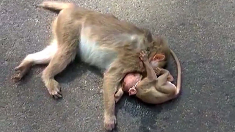 Heartbreaking footage shows baby monkey weeping over dead mother's body (VIDEO)