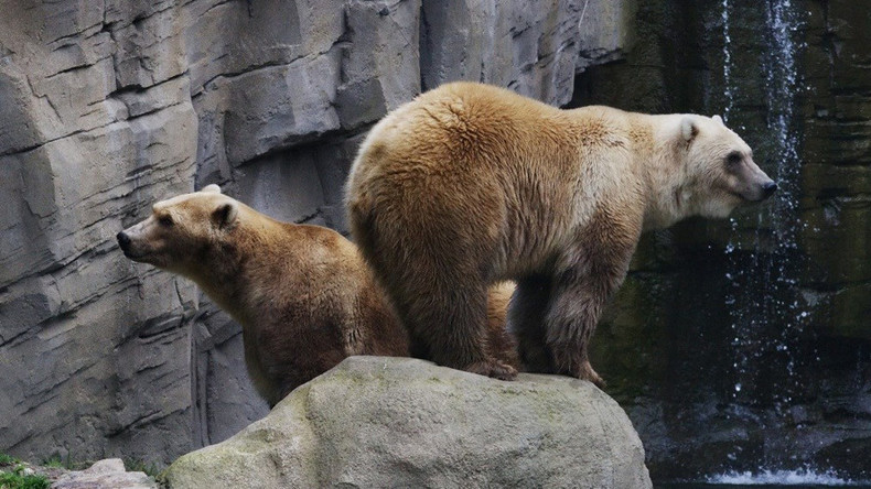 Rare 'cappuccino' bear shot dead at German zoo after escaping from cage