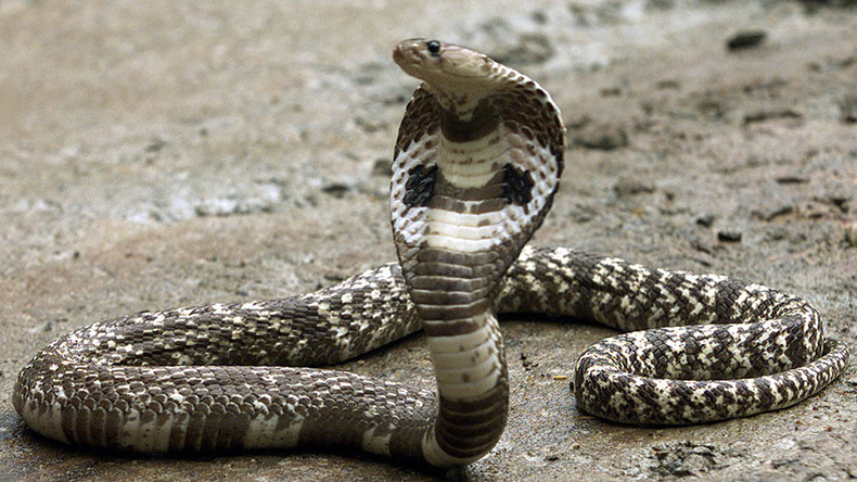 Snake in the grass: Escaped Florida cobra creates online hiss-teria